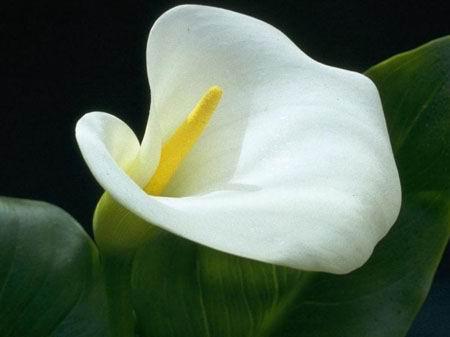 calla-flower-14