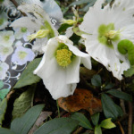 Beautiful Flowers in our Winter Garden, Oxford, Jan 11, 2012