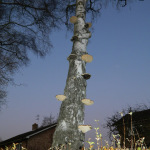 A Bracket Fungus Ladder on a Silver Birch Tree outside C.S. Lewis' House, the Kilns
