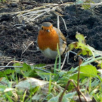 365 Project: A Friendly Little Robin in the remains of my herb garden