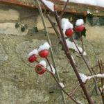 Our Garden, Enchanted, Snow, Feb. 10th, 2012, Oxford, England