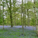 The Bluebell Woods and Peacocks of Harcourt Arboretum, Oxford: Oxfordshire Walks