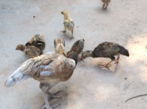 chickens_2
