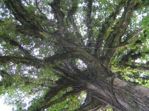 massive_oak_tree