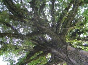 massive_oak_tree