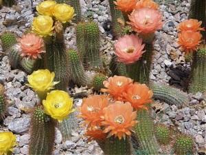 desert_cactus_flowers